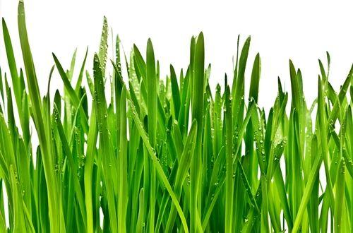 オートの葉に多く含まれるクロロフィルや酵素には、コレステロールや血糖値を正常にする働きがあり、また、動脈硬化や心臓病、糖尿病など生活習慣病の予防にも効果があります。カルシウムやビタミン、ミネラルが神経を鎮めイライラやストレスを軽減し、健康に不可欠な栄養素も多く含んでいるので、滋養強壮にも効果的です。