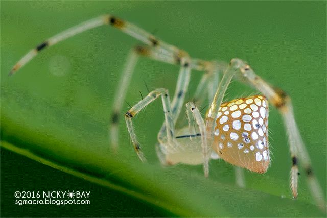 "Macro Photos Capture the Dazzling ""Mirror Spider"" with Its Changing Mosaic of Reflective Panels - My Modern Met"