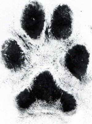 If Arthur ever leaves me, I will tattoo his paw print on my ribs right near my heart where he will live forever.