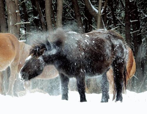 <寒立馬>風雪に耐え じっと春待つ   河北新報オンラインニュース