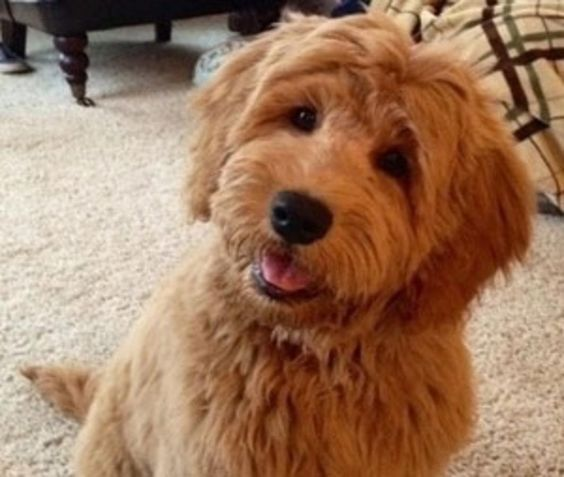 toy goldendoodle | We have red petite goldendoodle puppies .