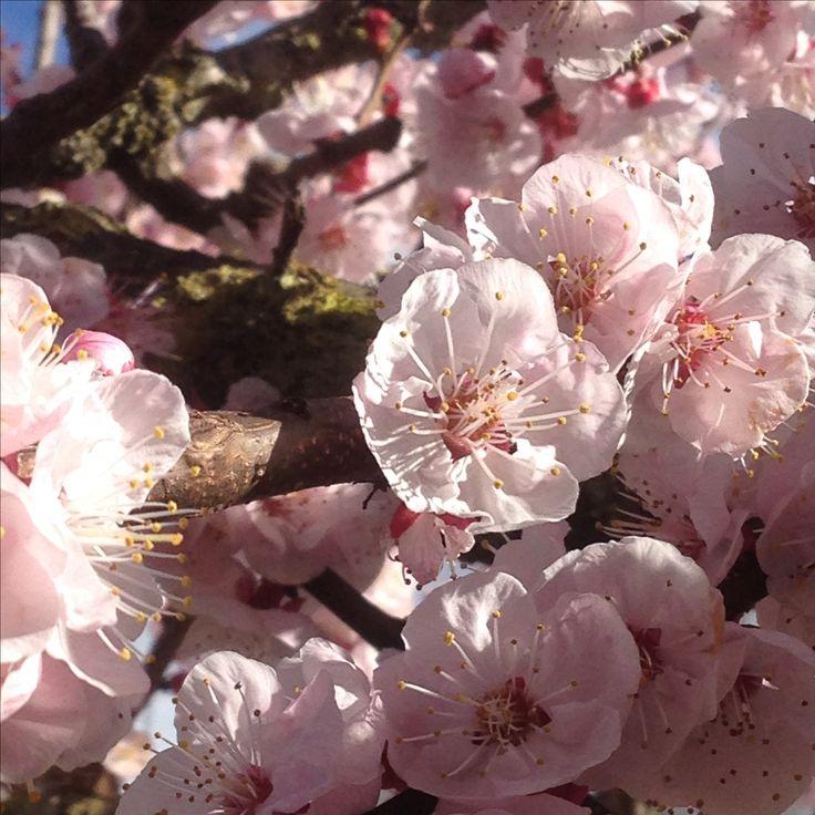 Primavera al gattile: il nostro albicocco ha fatto i fiori