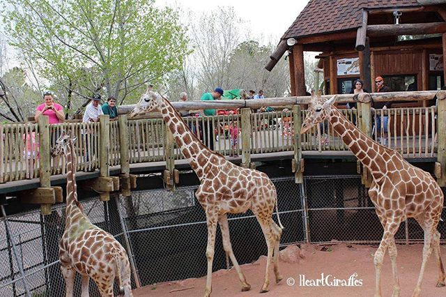 Silent Gratitude Isn T Much Use To Anyone G B Stern Photo Taken At Cheyenne Mountain Zoo 2014 Giraffe Cheyenne Mountain Cheyenne Mountain Zoo Photo