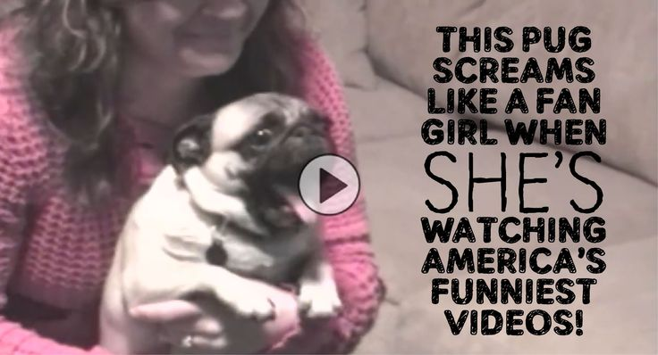This Pug Screams Like A Fan Girl When She's Watching America's Funniest Videos!