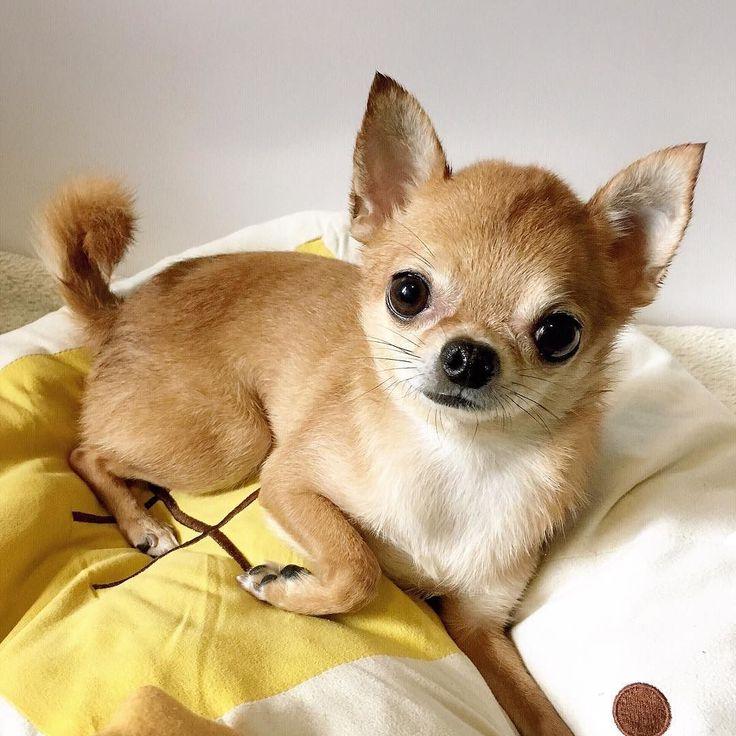 чихуахуа собака фотографии фотовыставки, или похвальное