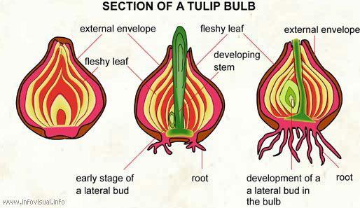 cross section of a tulip bulb | tulips | tulip bulbs, tulips, tulips garden