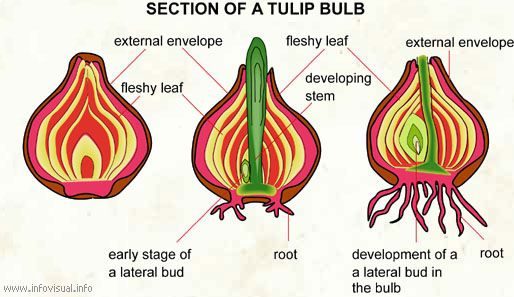 cross section of a tulip bulb tulips pinterest bulbs  cross section and tulip Combined Cycle Power Plant Diagram