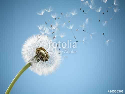 """Laden Sie das lizenzfreie Foto """"Close up of dandelion spores blowing away"""" von ojoimages4 zum günstigen Preis auf Fotolia.com herunter. Stöbern Sie in unserer Bilddatenbank und finden Sie schnell das perfekte Stockfoto für Ihr Marketing-Projekt!"""