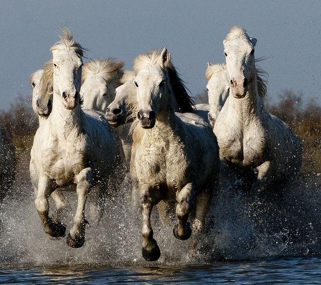 Group of Camargue Horses Galloping through Water (2)   Flickr: Intercambio de fotos.......................Heaven! TR