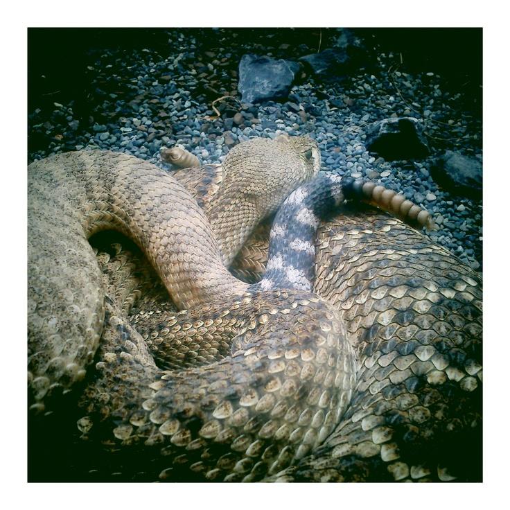 Berlin aquarium rattlesnake