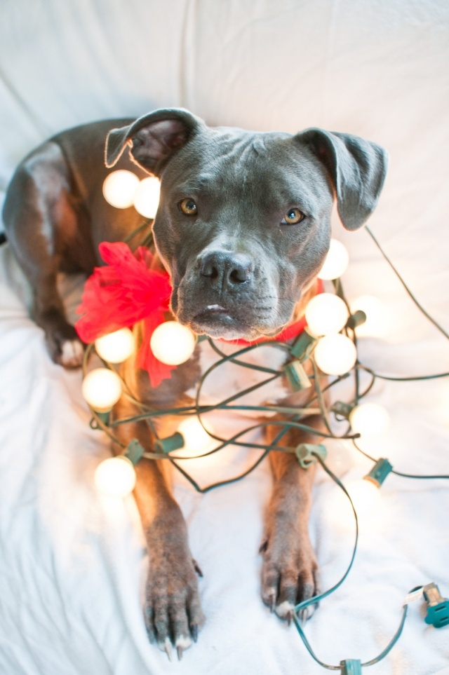 32 best Pit Bull Christmas images on Pinterest | Merry christmas ...