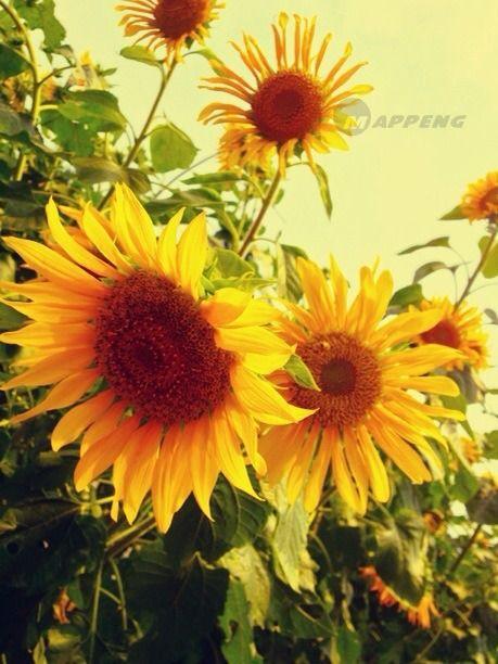 Sunflowers Bee Daisy Flower Margarita Bees Bellis Perennis Daisies
