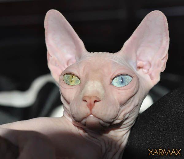 Xarmax - Breeders, Sphynx kittens for sale, hairless kittens for sale, hairless cat for breeder, sphynx kittens available, pictures sphynx, photos sphynx.