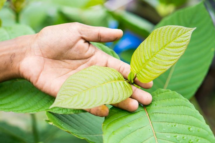 The surge of public support to keep kratom legal has earned the attention of members of Congress -- what comes next will make all the difference.