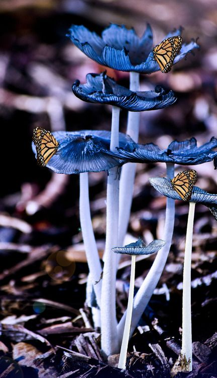 Butterflies on blue mushrooms