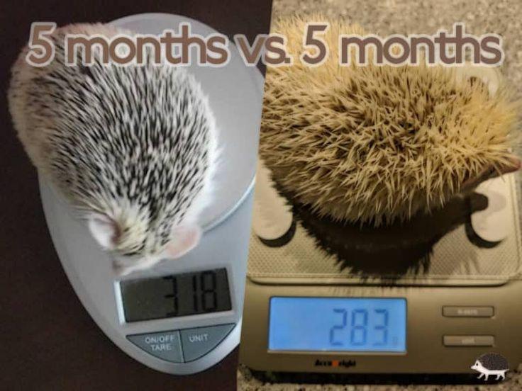 Healthy Hedgehog Weight Hedgehog diet, Hedgehog pet