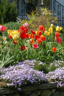 Flower Beds that Sizzle!  Photo: spring perennial bed. This example has tulips and creeping phlox.