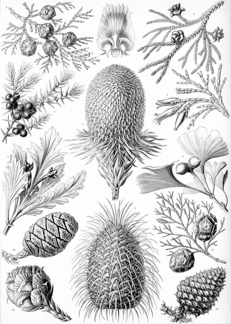 Vintage Printable, select images, thematic: Ernst Haeckel