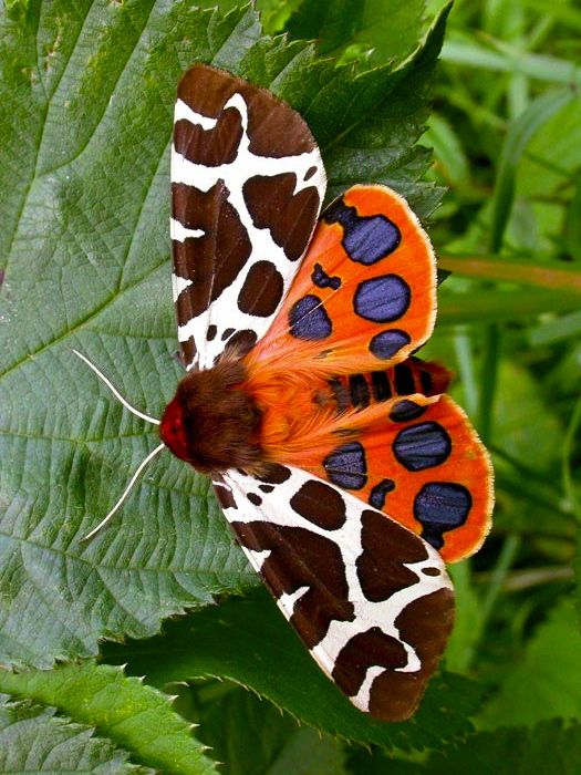 Garden Tiger Moth. Pair orange skirt with cobalt blue blouse, brown boots, brown and white necklace and neon yellow accessories