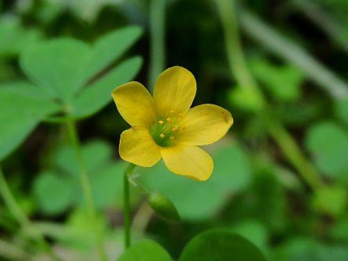 Stijve Klaverzuring - Oxalis stricta. - Foto gemaakt door pinterester Adri v.d.S - Bord Wilde Gele bloemen - Yellow wildflowers