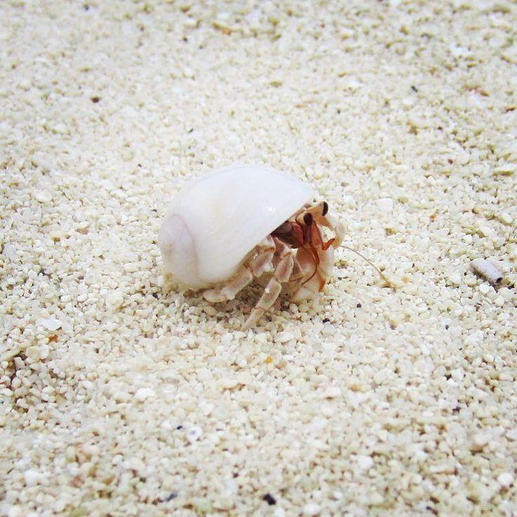 Paguretto alle Maldive 2015. #hermitcrab #hermitcrabs #paguro #paguri #mare #sea #seaside #spiaggia #sabbia #wave #waves #onde #maldive #maldives2015 #maldives #maldivesislands #maldiveslovers #nature #nature_shooters #nature_perfection #natureza #natura #naturaleza #natural #tagsta_nature #tagsforlikes by alessio.biondino