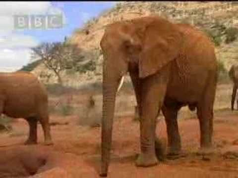 African elephants released back into the wild - BBC wildlife - YouTube