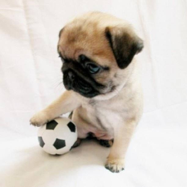 soccer pug player | Pugs lover | Pinterest | Soccer and Pug