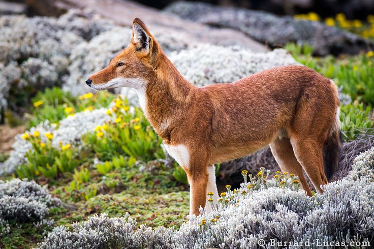 A beautiful Ethiopian wolf amongst the afro-alpine plants | Photo by Will Burrard-Lucas at http://www.burrard-lucas.com/