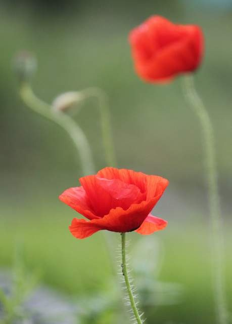 Love red poppies