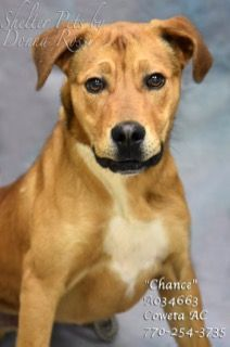 """B-20  EXTREMELY URGENT!                                           Breed:     Labrador Retriever, Hound Mix     Sex:         Male     Age:         Young                Size:         Medium     Weight:    46 lbs per shelter notes at intake      ID:           A034663     Shelter Name:  """"Chance""""     Vaccinated, Heartworm NEGATIVE"""
