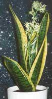 /plantas_de_interior/ Sanseviera, Espada de San Jorge, Lengua de suegra, Sansevera, Sansevieria