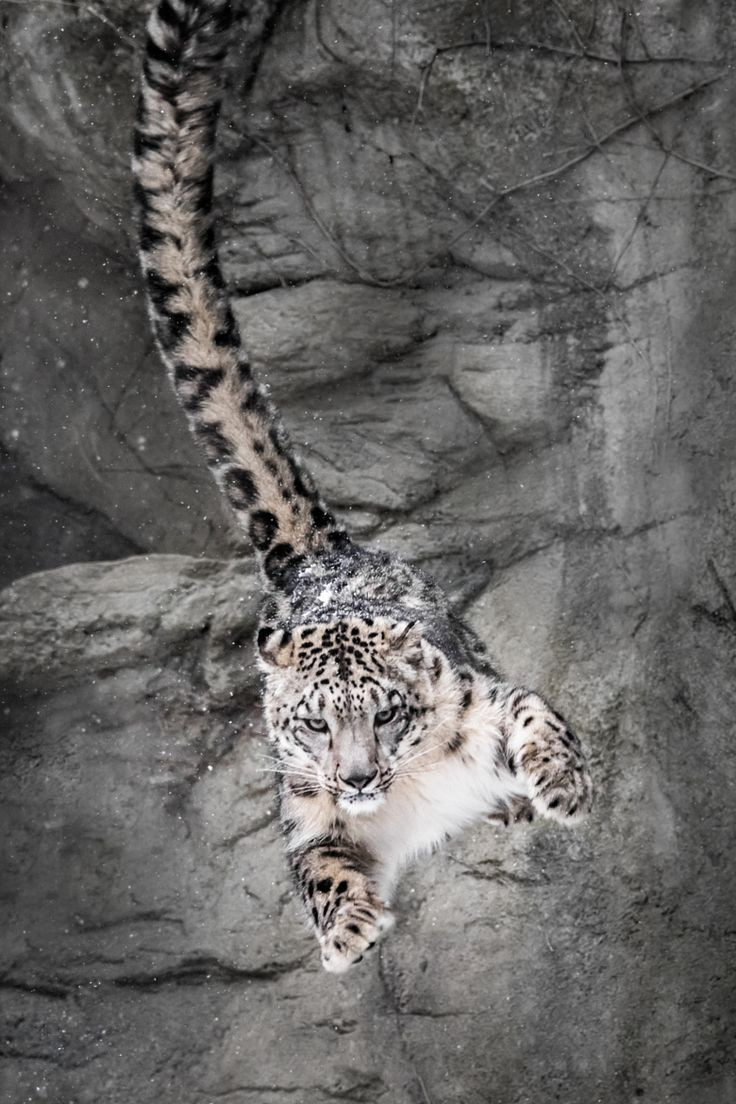 "beautiful-wildlife: ""Snow Leopard Wall Bounce by Abeselom Zerit """