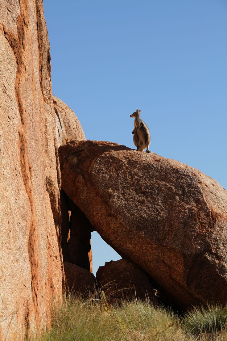 Rare Rock Wallaby at the Devils Marbles, Northern Territory Australia (from the website of Douglas Van Bossuyt)