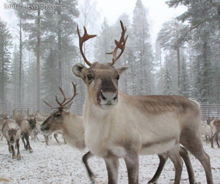 Ein Rentier in Lappland in Finnland.