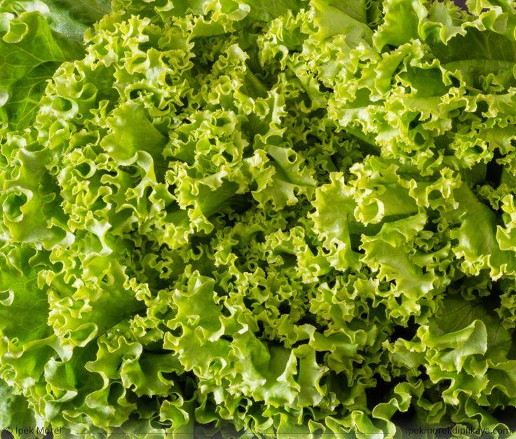 Green leaves of fresh head lettuce for salad