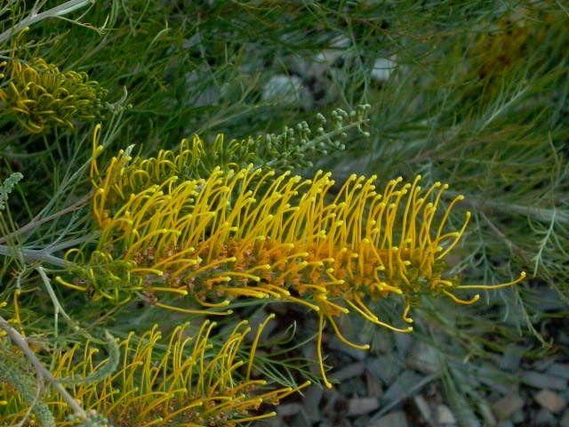 Grevillea 'Golden Lyre' Hybrid (G. formosa x G. 'Honey Gem' ). Medium shrub. 2m high x 1.5m wide. Yellow flowers in Summer and Autumn. Frost sensitive.