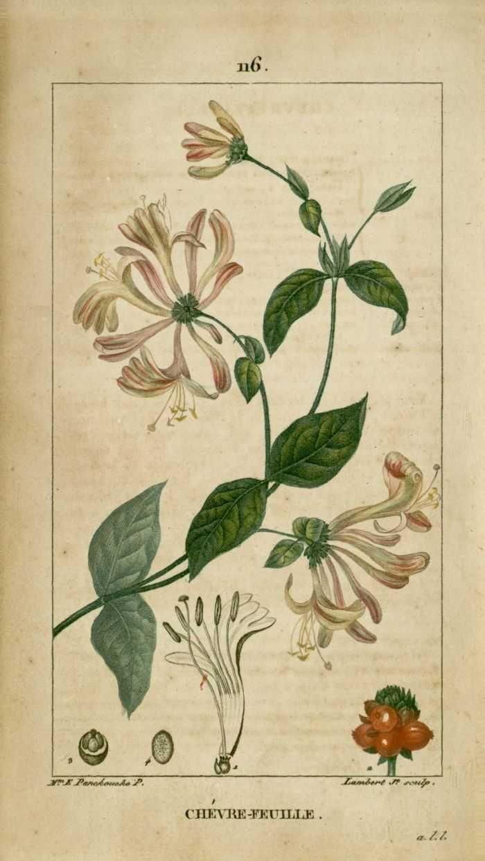 img/dessins-gravures de plantes medicinales/chevrefeuille, chevre-feuille des bois.jpg