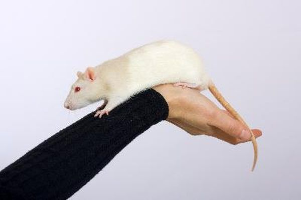 Young rat image by Maslov Dmitry from Fotolia.com