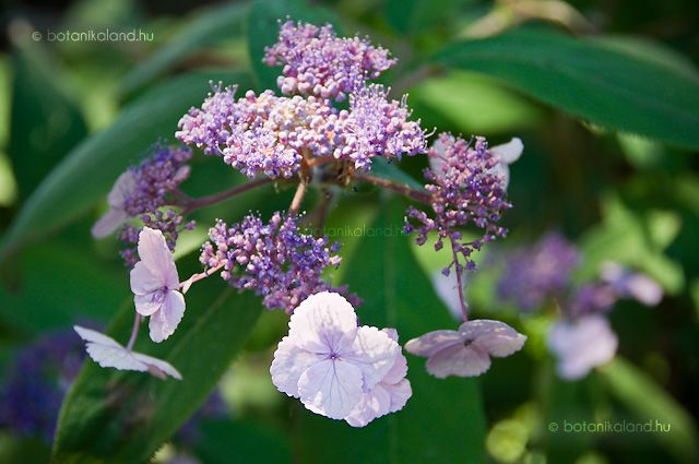 Érdeslevelű Hortenzia (Hydrangea Aspera Villosa) gondozása, szaporítása -tavasszal vagy nyáron zölddugványozással