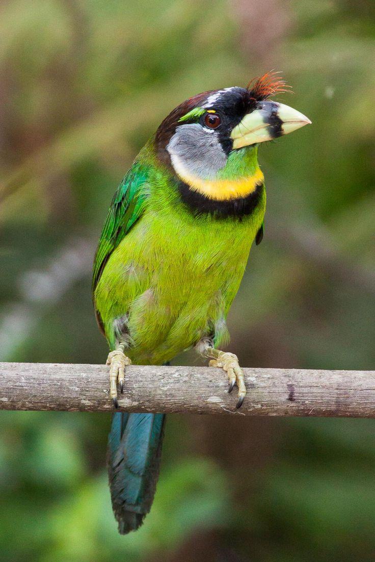 54 best birds barbets leafbirds images on pinterest