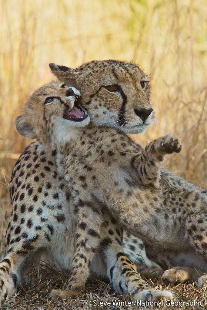 Africa | A female cheetah and her playful cub - Phinda Private Game Reserve, South Africa | ©Steve Winter