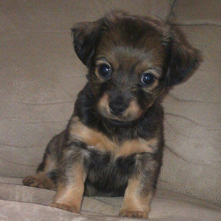 Dachshund/Pomeranian mix puppy! | Dogs | Pinterest | Puppys, Ems and ...