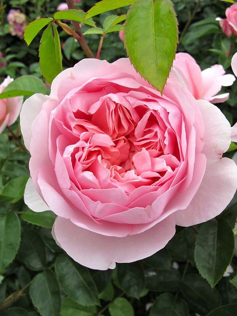 ~Pink English rose 'Wildeve' opens cupped, then gradually reflexes back into a rosette~