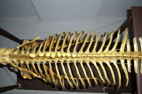 Looking down on the equine thorax