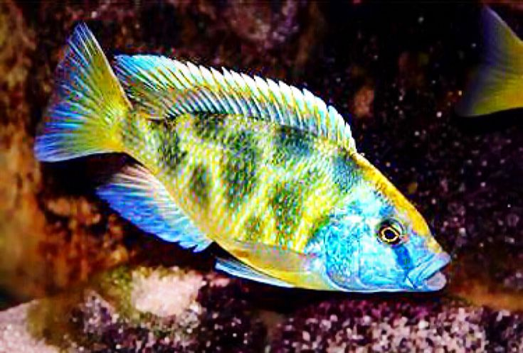 "Common Names: ""Giraffe Cichlid"", ""Haplochromis Venustus"" 