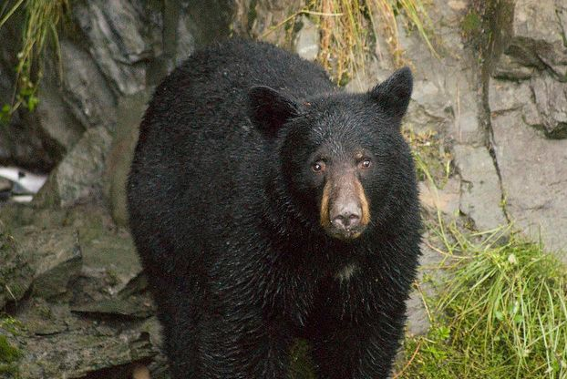 PLEASE SIGN AND SHARE VIRALLY IN PROTEST! Urge the governor to reject this cruel plan and protect the majestic black bear. Hunters in New Jersey now have an extended black bear hunting season, an increased hunting area, and can hunt with inhumane bows and arrows. This heinous barbarism has no place in the 21st century, especially with all of the inept psychopaths being issued hunting licenses today!