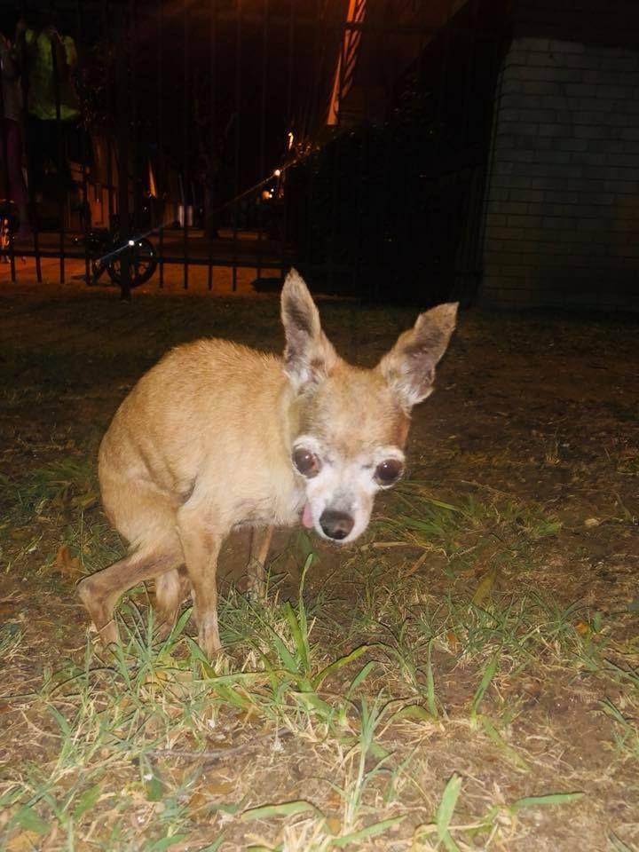 Senior Three Pound Chihuahua Discarded Like Trash At Apartment