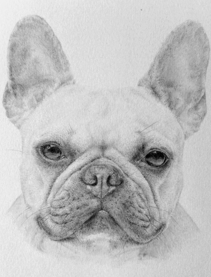 Graphite Pet Portrait of Zara the French Bulldog