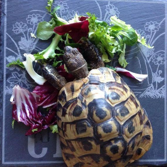 Personalised Tortoise Feeding Slate カメ