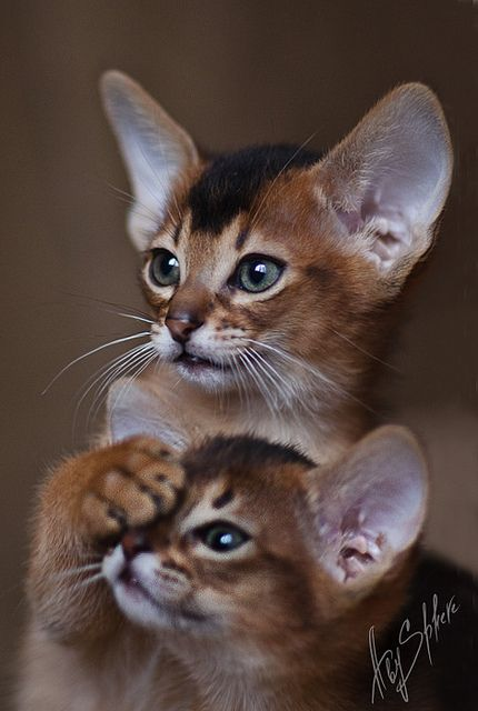 Eye test..can you see the mice on the chart??? Abyssinian/Somali Cats
